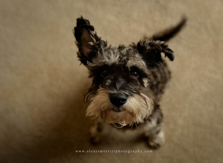 Studio portraits dog | Seattle family photographer