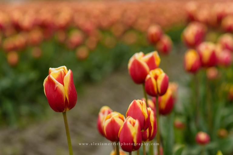 Tulips at Roozengaarde   Seattle Photographer