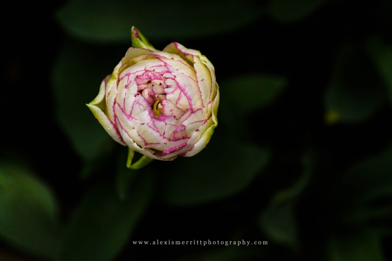 Double Bloom tulip at Roozengaarde | Bothell Photographer