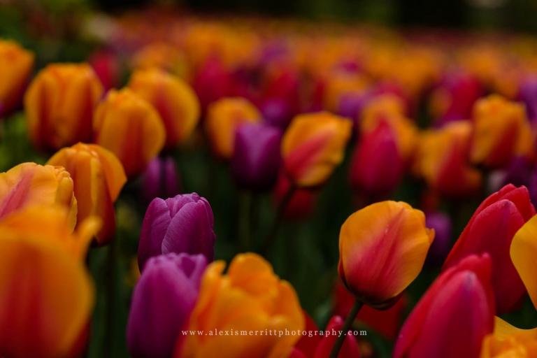 Purple and orange tulips   Mill Creek Photographer