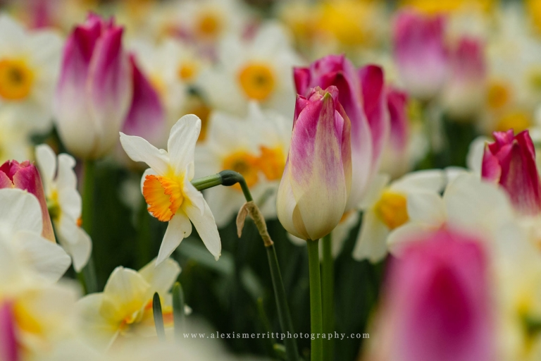 Dandelion and pink tulip at Roozengaarde | Bothell Photographer