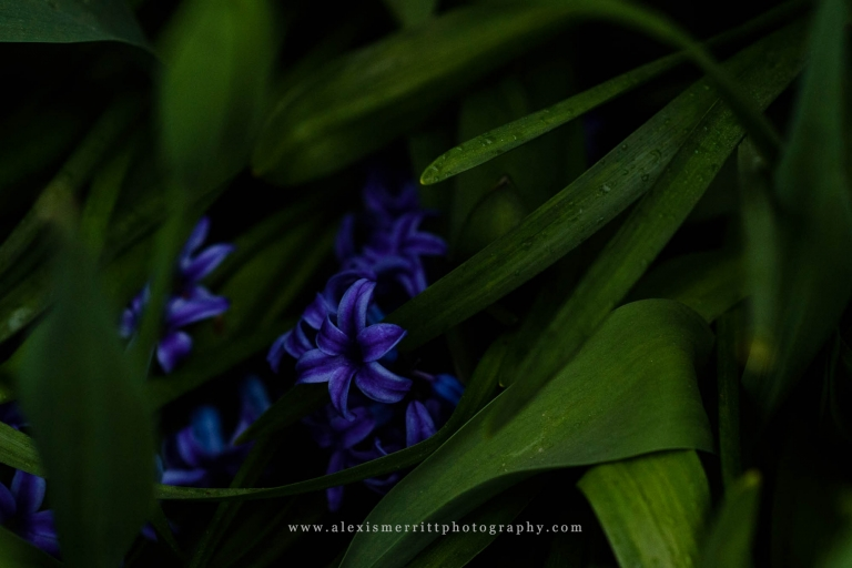 Hyacinth flower at Roozengaarde | Seattle Photographer